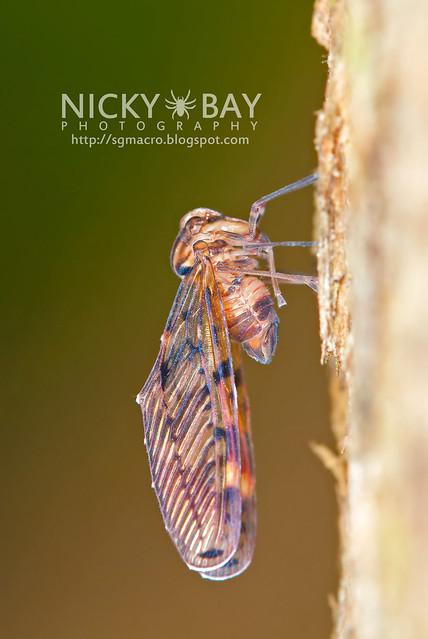 Derbid Planthopper? (Derbidae) - DSC_7935
