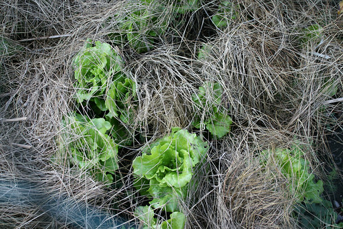 frost protected garden 041