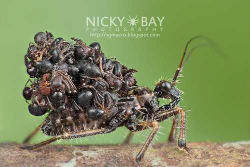 Ant-snatching Assassin Bug (Acanthaspis sp.) - DSC_6787