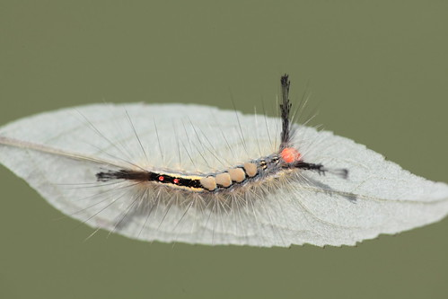 northcarolina richmondcounty tussockmoth whitemarkedtussockmoth orgyiadetrita