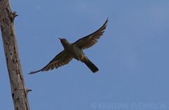 Madagascar Cuckoo (Cuculus rochii)
