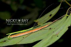 Stick Insects (Phasmatodea) - DSC_7343