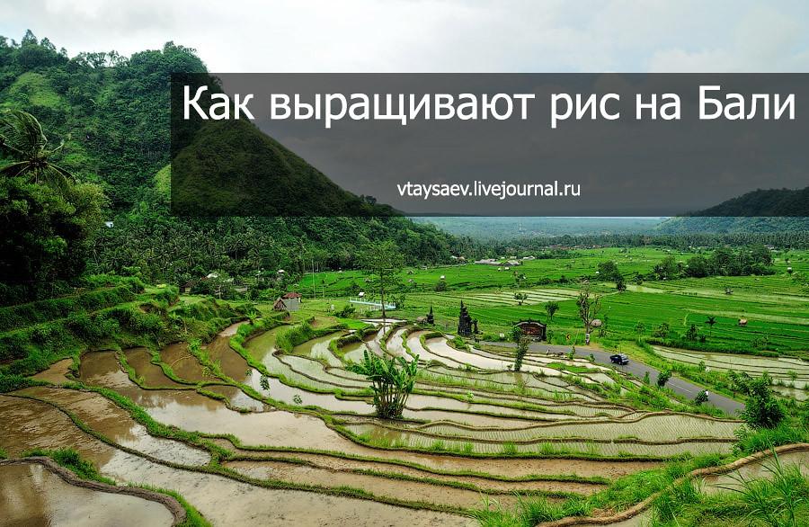 рис на бали