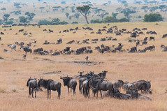 animal migration, animal, prairie, steppe, wildebeest, plain, mammal, herd, grazing, fauna, natural environment, pasture, savanna, grassland, safari, wildlife,