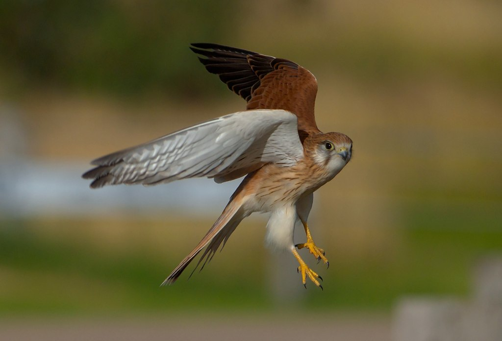 Young Nankeen Kestrel in flight