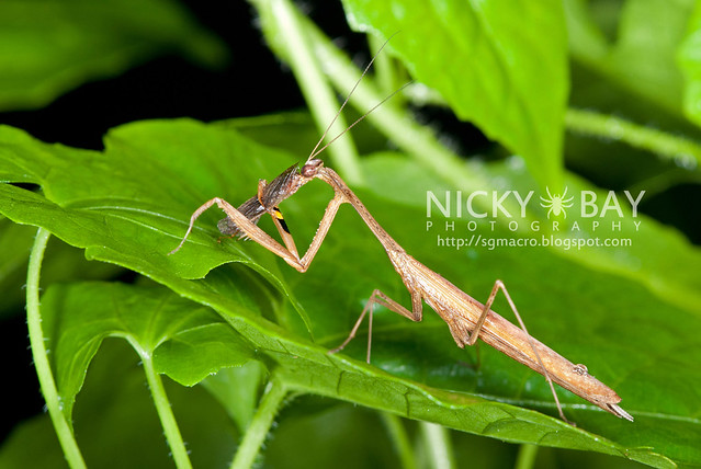 Praying Mantis (Mantodea) - DSC_4530