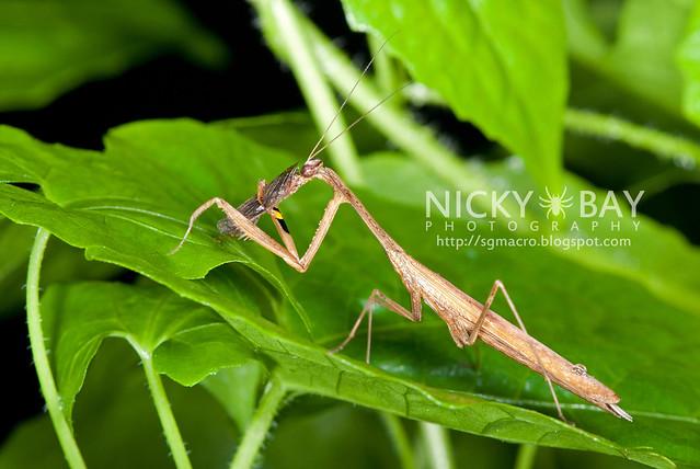 Praying Mantis (Mantodea) - DSC_4530