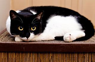 Stately Tuxedo Cat