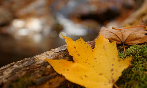 Shenandoah: Maple leaf and waterfall bokeh