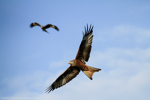 Red Kites In Flight