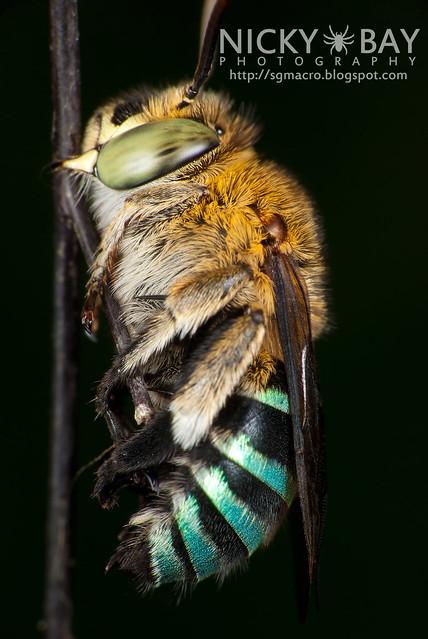 Sweat Bee (Amegilla sp.?) - DSC_0919
