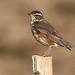 Skógarþröstur (Turdus iliacus) - Redwing