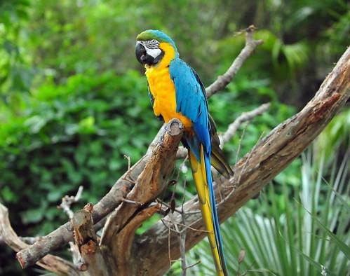 Blue-and-Gold Macaw (Ara ararauna)