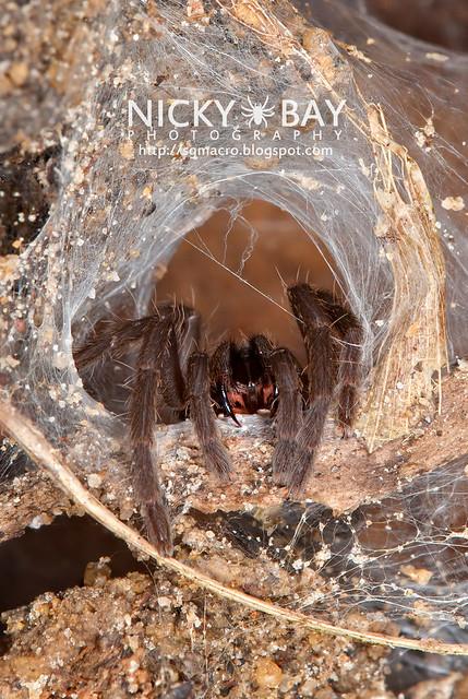 Tarantula (Phlogiellus sp.) - DSC_9391