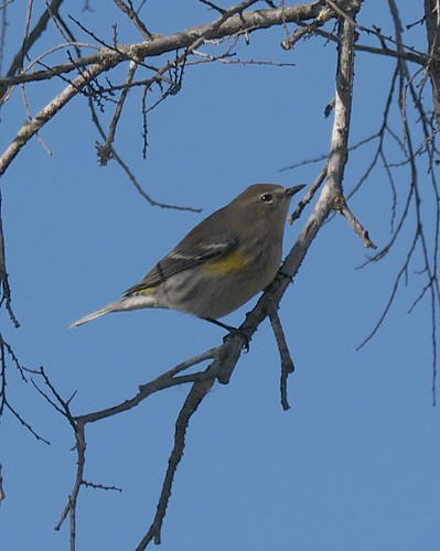 Yellow-rumped Warbler - 2