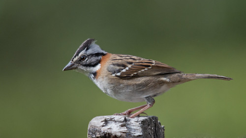 Zonotriquia capensis (Rufous-collared Sparrow/copetoncito)