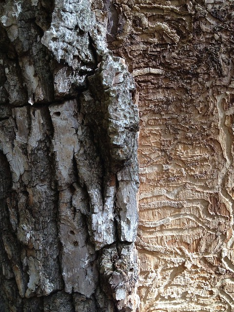 what is my photostream iphone emerald ash borer damage in a dead ash flickr photo 7828