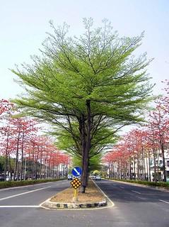 由非洲引進台灣的小葉欖仁,經過10多年,才得以在台灣的道路展現風采。(攝影:宋心怡)