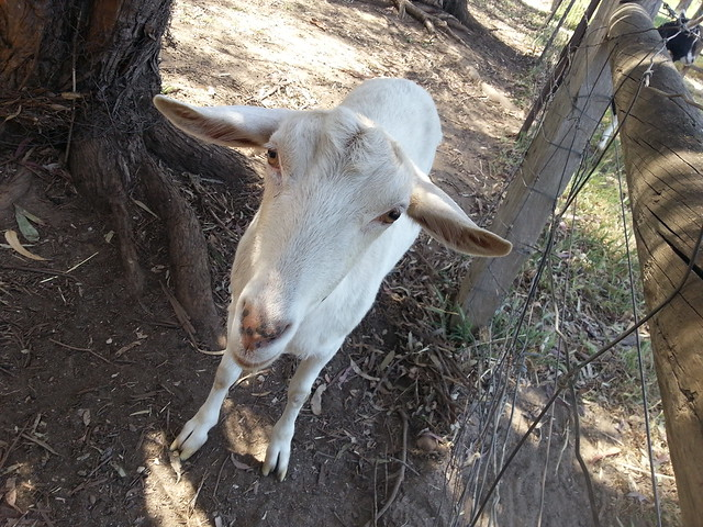 R Goats Good Pets Pet goats | Fli...