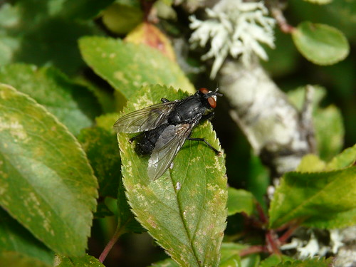 House-fly (Polietes lardaria) by Peter Orchard
