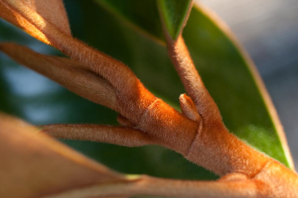 27/365 - Magnolia Fuzz
