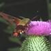 Clear Winged Moth Hawk Feeding on a Thistle Flower DSCF2198
