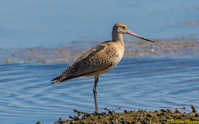 marbled godwit, Canon EOS 7D MARK II, Canon EF 400mm f/4 DO IS II USM