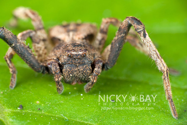 Crab Spider (Thomisidae) - DSC_9317