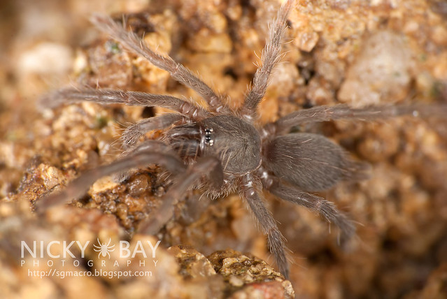 Tarantula (Phlogiellus inermis) - DSC_8258