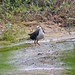 Small photo of White-breasted Waterhen Amaurornis phoenicurus