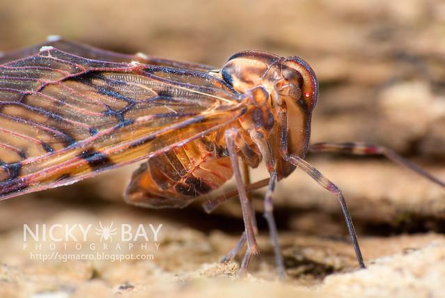 Derbid Planthopper? (Derbidae) - DSC_7972
