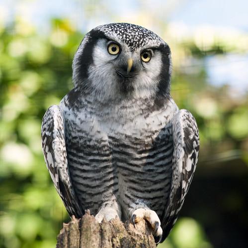 Northern Hawk Owl (Explored)