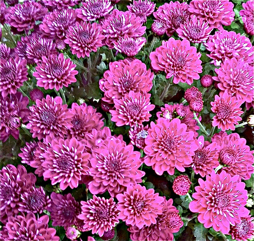 Pink Mums (Posterized Photo) by randubnick