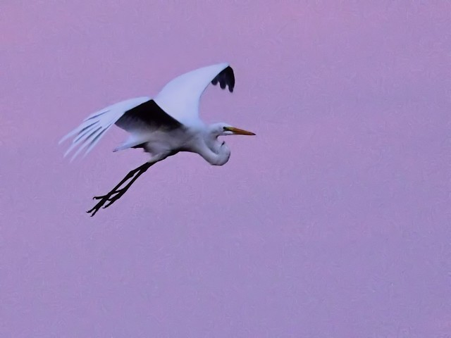 Great Egret in flight Corel 20121016