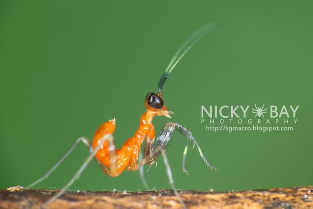 Praying Mantis nymph (Mantodea) - DSC_5373