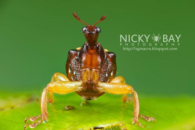 Giraffe Weevil (Korotyaevirhinus necopinus orientalis) - DSC_4985