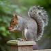 Grey Squirrel by DaveJC90