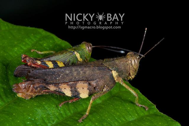Grasshoppers (Caelifera) - DSC_4001