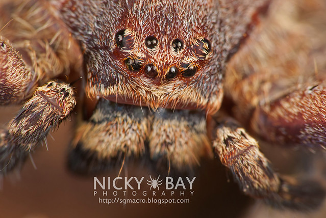Huntsman Spider (Sparassidae) - DSC_1032