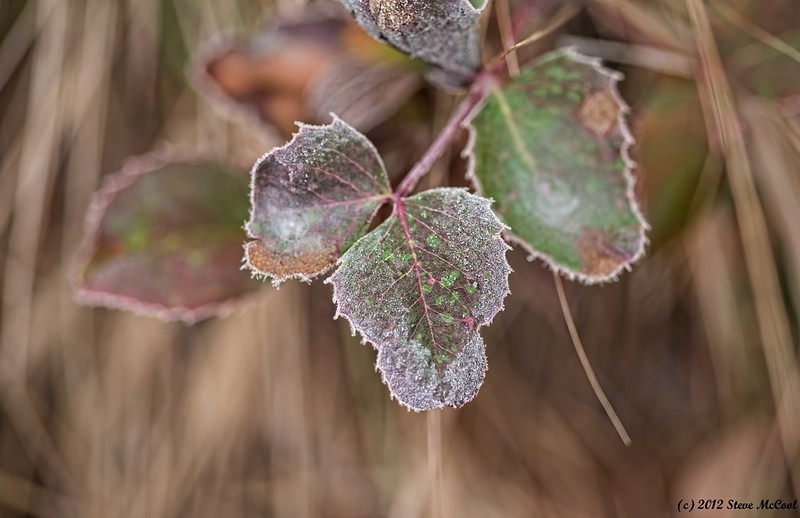 Colorful-leaf-with-Frost