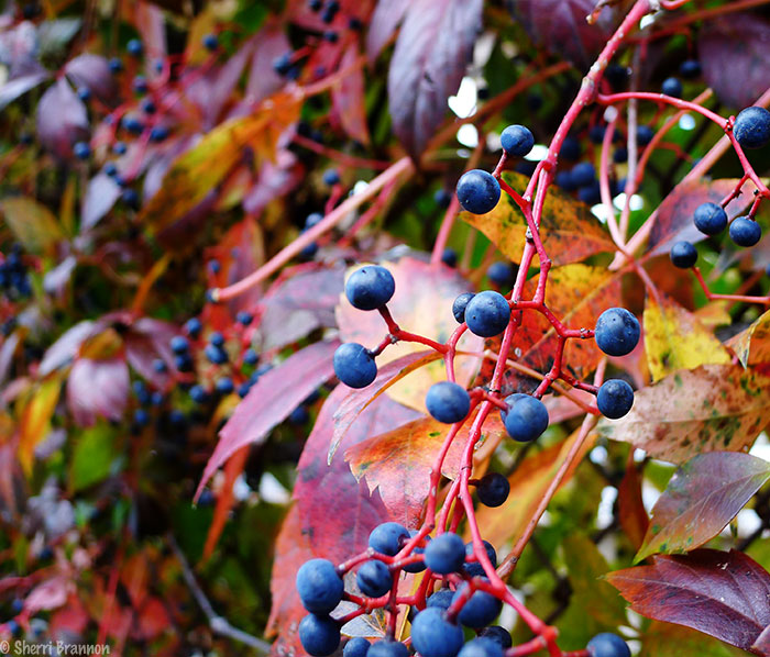 Fall vines and berries