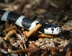 boas(0.0), boa constrictor(0.0), lissotriton(0.0), hognose snake(0.0), grass snake(0.0), garter snake(0.0), european fire salamander(0.0), salamandra(0.0), ambystoma maculatum(0.0), salamandridae(0.0), emydidae(0.0), kingsnake(0.0), animal(1.0), serpent(1.0), snake(1.0), reptile(1.0), fauna(1.0), close-up(1.0), scaled reptile(1.0), wildlife(1.0),