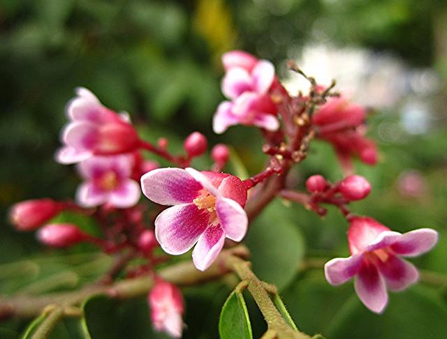 star fruit fruit flowers