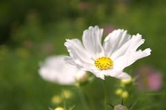 blossom(0.0), field(0.0), grass(0.0), chamaemelum nobile(0.0), daisy(0.0), oxeye daisy(0.0), daisy(0.0), flower(1.0), garden cosmos(1.0), plant(1.0), nature(1.0), macro photography(1.0), wildflower(1.0), flora(1.0), close-up(1.0), cosmos(1.0), petal(1.0),