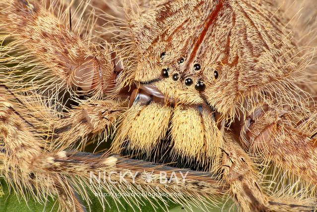 Huntsman Spider (Sparassidae) - DSC_9806