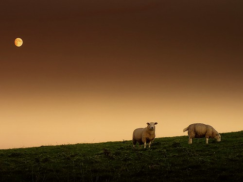 The sheep and the moon