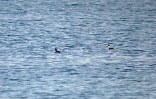 Black-necked Grebes at Brogborough Lake