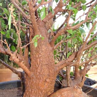 First bonsai help! 8133917780_355cf1a3dd