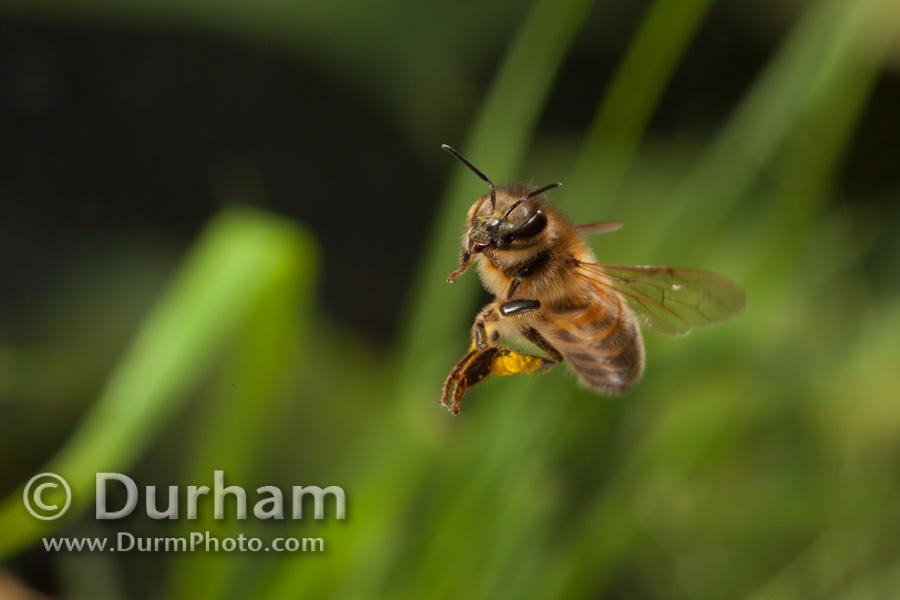 western honybee