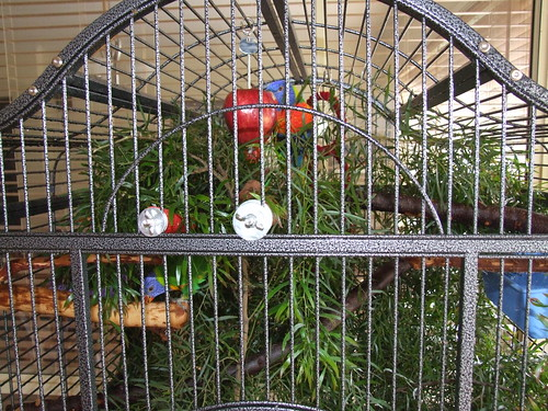 My lorikeet's setup after foliage has been added